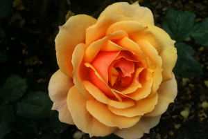 Quick Tips: Quick Guide to Pruning Roses