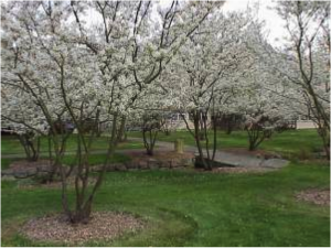 Plant Of the Month: Amelanchier laevis