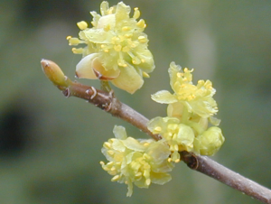 Plant of the Month: Lindera benzoin or Spicebush